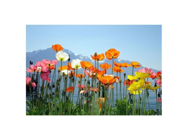 mountain-flowers-FL