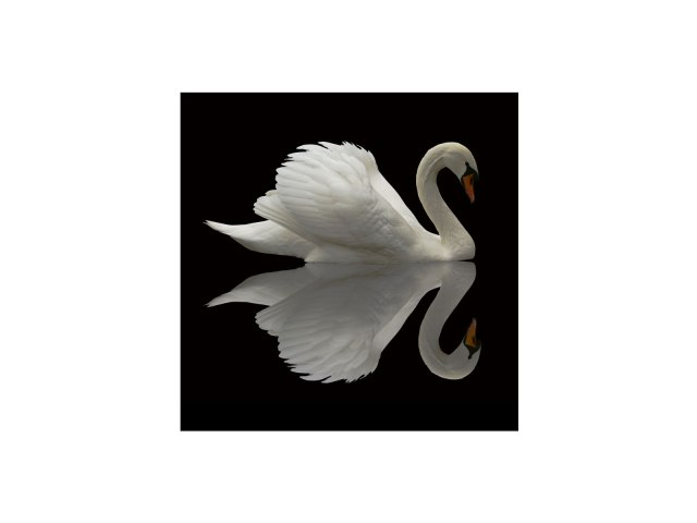 swan-FL